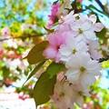 写真: 奈良八重桜