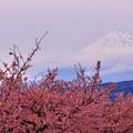 写真: 富士と桜