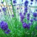 写真: ラベンダー開花