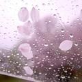 写真: rain×桜
