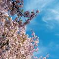 Photos: さくら桜サクラ