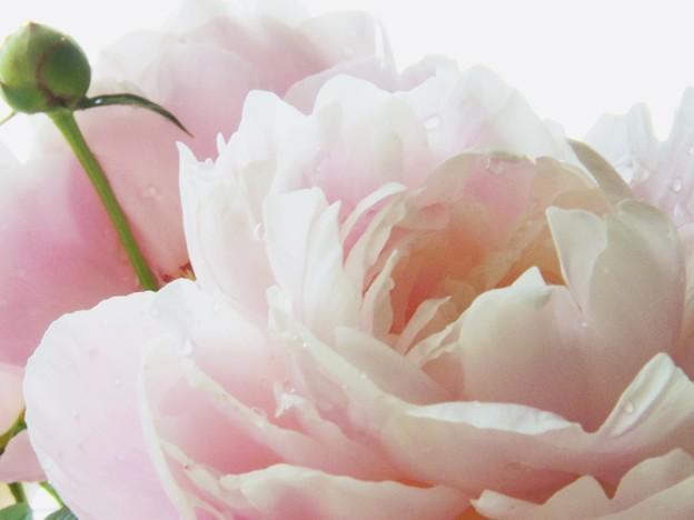 Photos: 芍薬の花