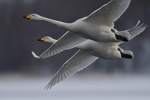 接近、飛翔の2羽・・