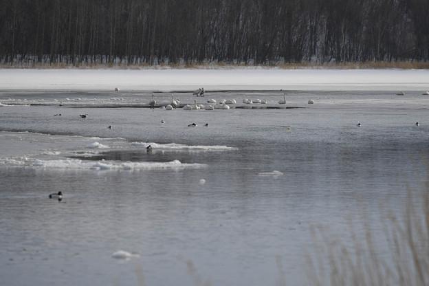 湖面で、羽根を休める・・