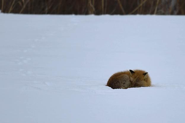 お眠中の、キタキツネさん・・