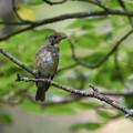 Photos: オオルリ、幼鳥さん