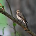 Photos: キビタキ、幼鳥さん1