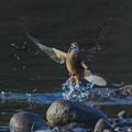 Photos: 水面から飛出し・・翡翠さん