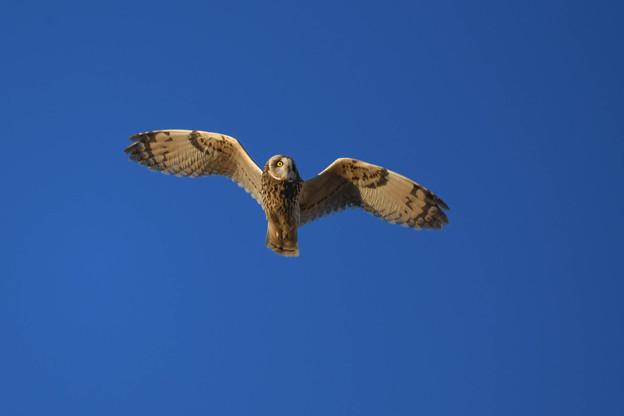 Photos: コミミズク飛翔