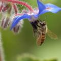 Photos: DSC08365_ボリジとミツバチ