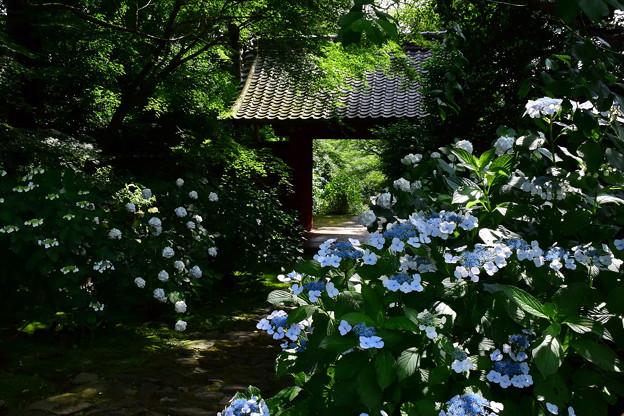 DSC_6796_本光寺のアジサイ