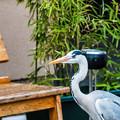 Photos: 祇園白川の鷺_0020