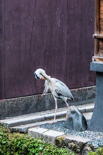 祇園白川の鷺_0025