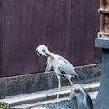 Photos: 祇園白川の鷺_0025