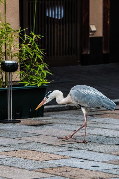 祇園白川の鷺_0002