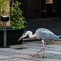 Photos: 祇園白川の鷺_0002