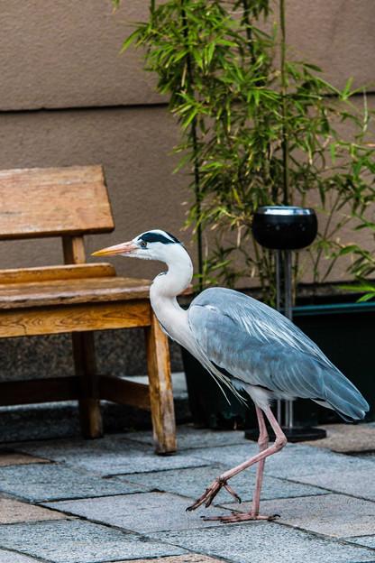 祇園白川の鷺_0006