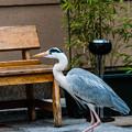 Photos: 祇園白川の鷺_0006