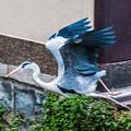 Photos: 祇園白川の鷺_0030