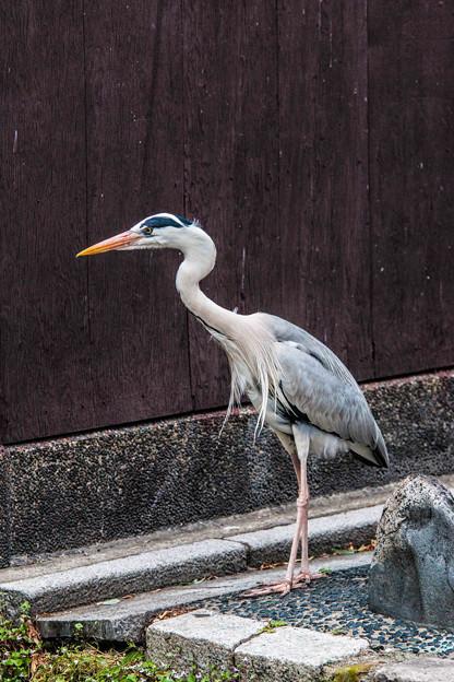 祇園白川の鷺_0029