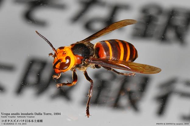 コガタスズメバチ#3
