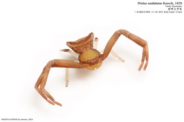 ガザミグモ