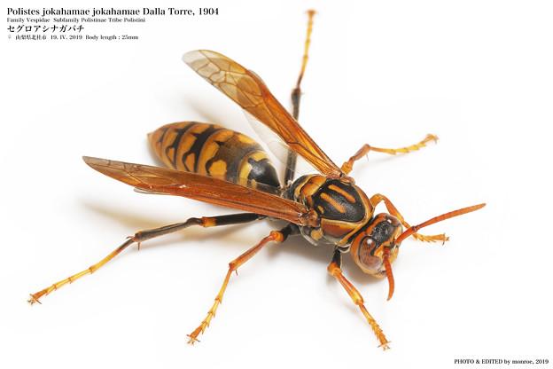 セグロアシナガバチ#2