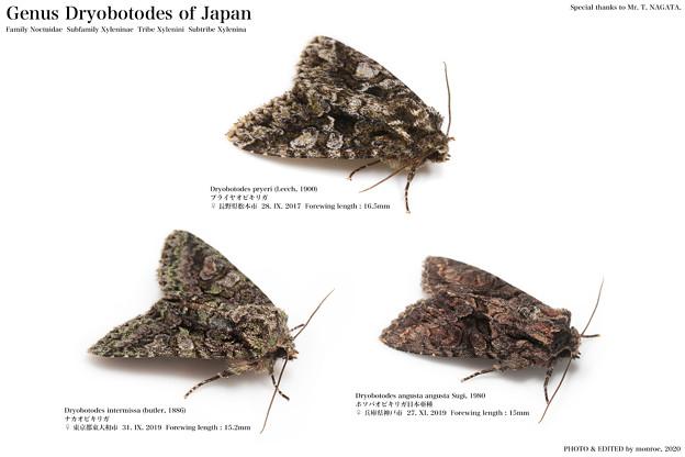 日本産キリガ Dryobotodes属 全3種