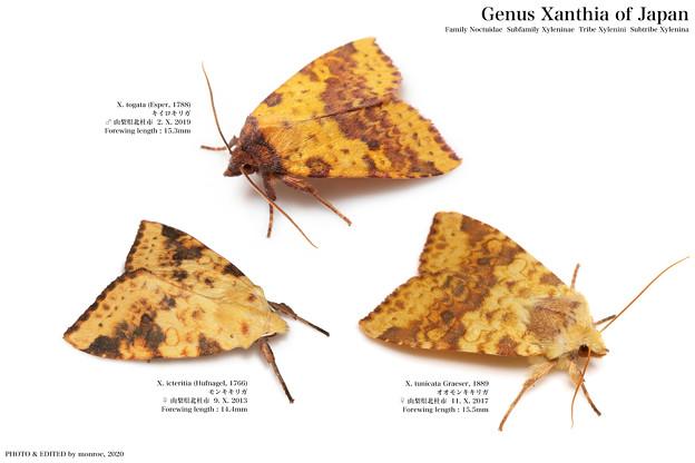 日本産キリガ Xanthia属 全3種