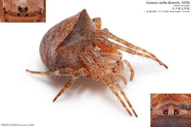 ツノオニグモ