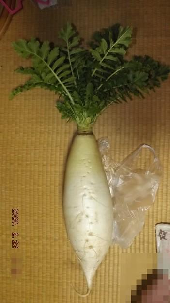 2020/02/22(土)・三浦大根(50円)