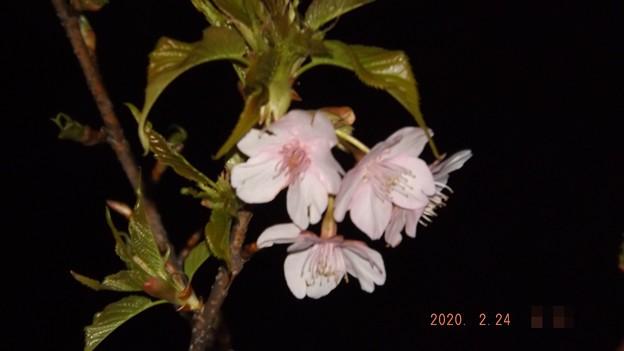 2020/02/24(月・祝)・太東崎灯台の付近に咲いていた河津桜