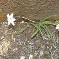 Photos: 2020/03/13(金)・自宅の塀に一生懸命1輪咲いてるど根性の白い花にもう1輪(#^^#)