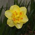 2020/03/28(土)・黄色いお花が咲いたよ。(#^^#)