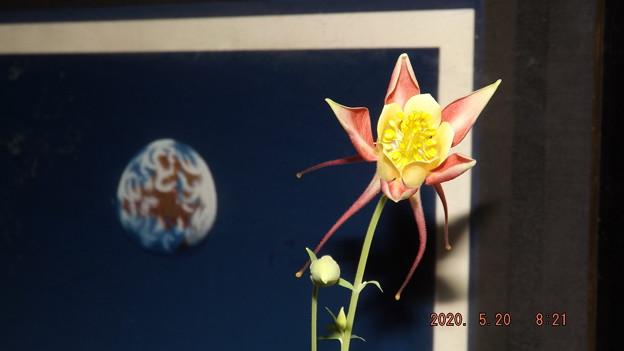 2020/05/20(水)・西洋オダマキ開花とツボミちゃん