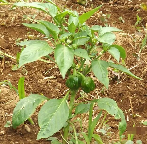 2020/05/26(火)・GWの終わりに苗を植えてピーマンがここまで大きくなったよ(#^^#)
