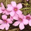2020/05/26(火)・ピンクのお花(#^^#)