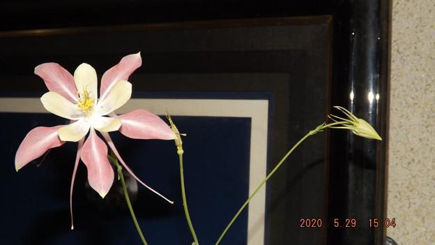 2020/05/29(金)・西洋オダマキちゃん(2番目の子・開花5日目)とツボミちゃん