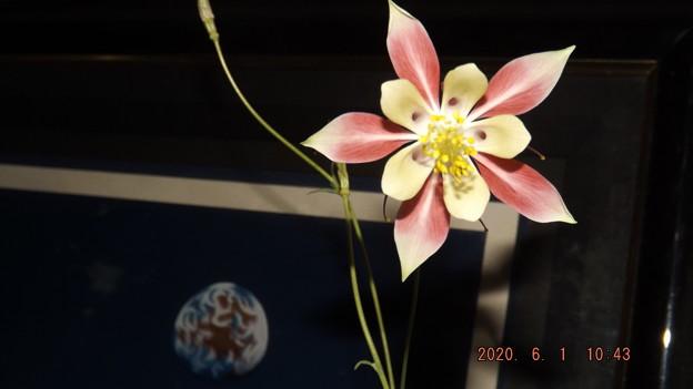 2020/06/01(月)・西洋オダマキちゃん(3番目の子・開花2日目)