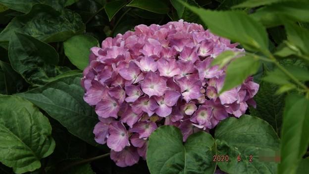 2020/06/02(火)・庭のアジサイ・2