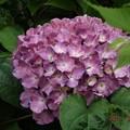 Photos: 2020/06/02(火)・庭のアジサイ・2