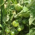 2020/06/09(火)・畑のミニトマト