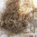 2020/06/09(火)・ご近所様からの頂き物(エシャレット)