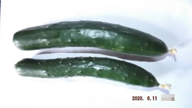 2020/06/11(木)・ご近所様から頂いた畑の胡瓜