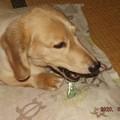 Photos: 2020/06/18(木)・ガムをかんで食べている僕だワン