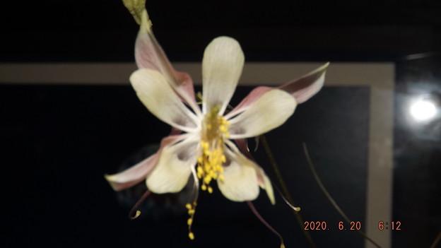 2020/06/20(土)・第2弾・西洋オダマキ(開花5日目)