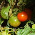 2020/07/01(水)・畑のミニトマト(24日目)