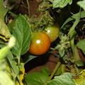 2020/07/02(木)・畑のミニトマト(25日目)
