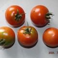 Photos: 2020/07/11(土)・畑のミニトマト・5個収穫