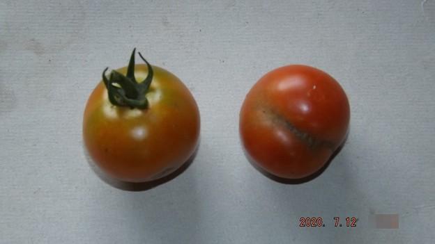 Photos: 2020/07/12(日)・畑のミニトマト・2個収穫